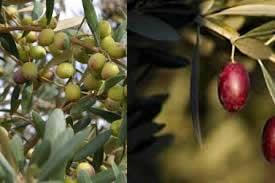 Huile d'olive 80% Arbequina, 20% Arroniz