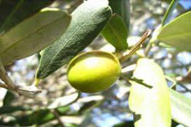 Huile d'olive 100% Hojiblanca