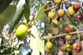 Huile d'olive 50% Arbequina 50% Hojiblanqua