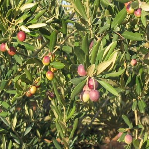 huile-d-olive-arroniz