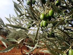 huile d'olive au piment d'espellette